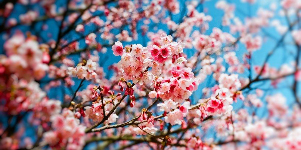 printemps-cerisier1
